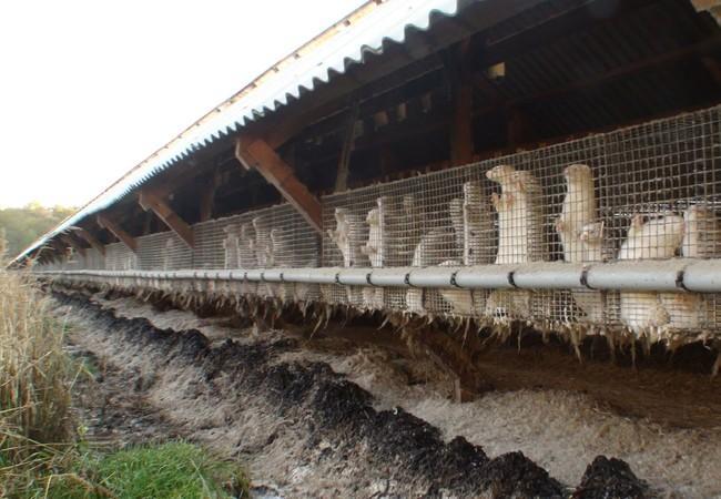 Unzählige Nerze werden in Drahtkäfigen auf den Farmen gehalten
