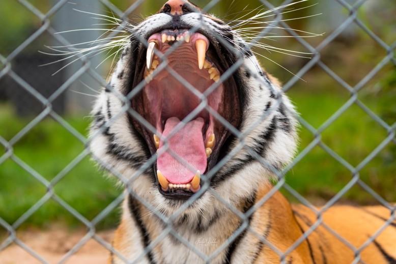 Tigerin Cara in der TIERART Wildtierstation 2019