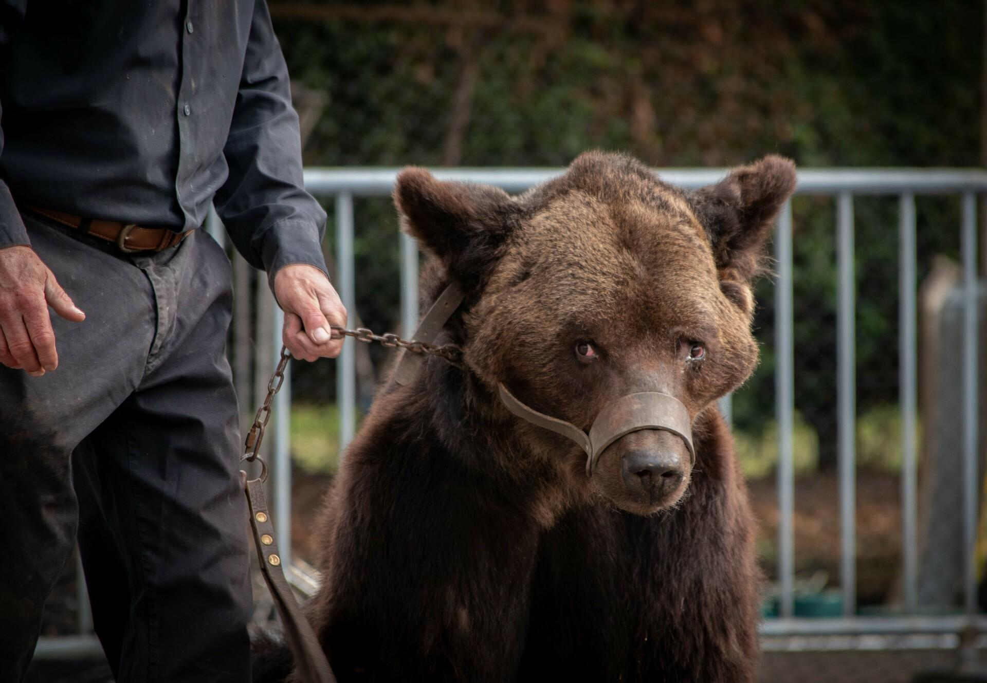 Bear on a chain in France