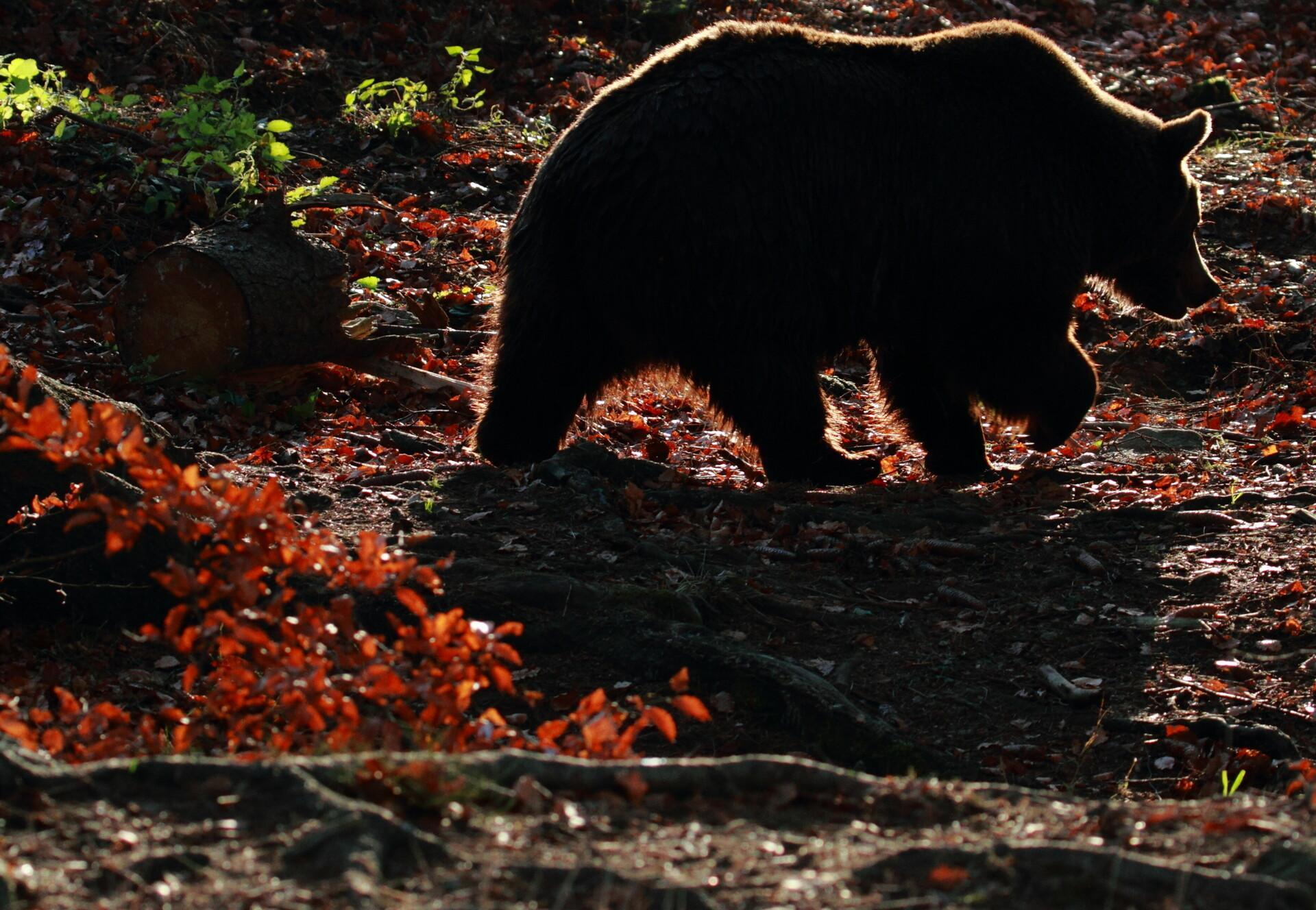 Bear at BEAR SANCTUARY Arbesbach