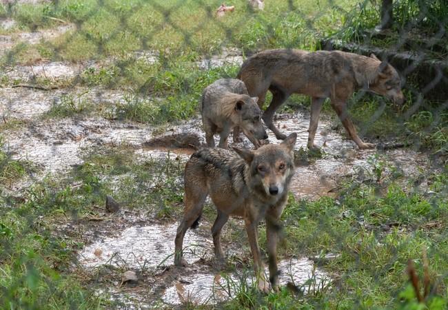 Des loups négligés