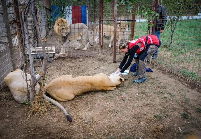 Les lions en Roumanie
