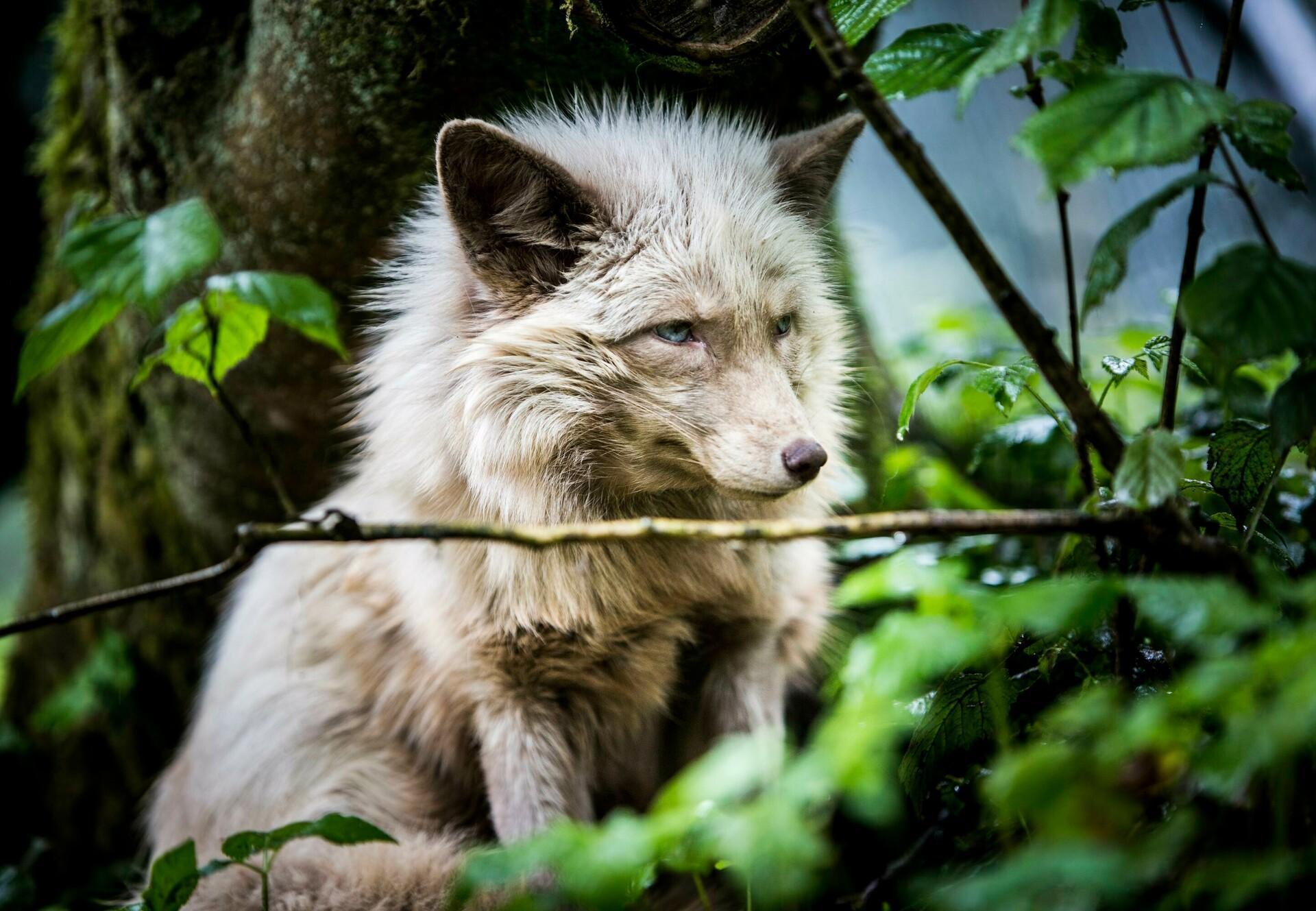 Fuchs in der TIERART Wildtierstation
