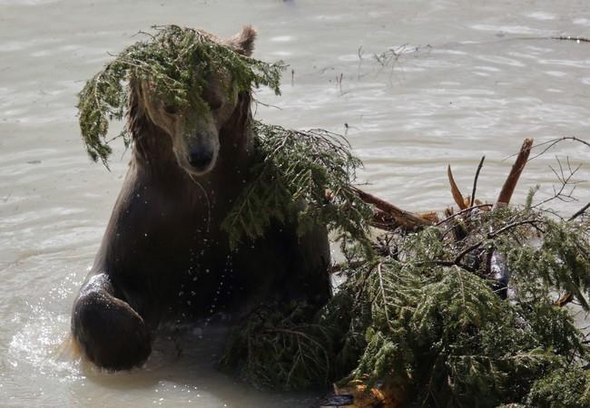 Bär Napa im Teich des Arosa Bärenlandes