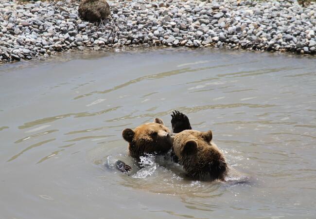 Die Bären Amelia und Meimo spielen im Teich
