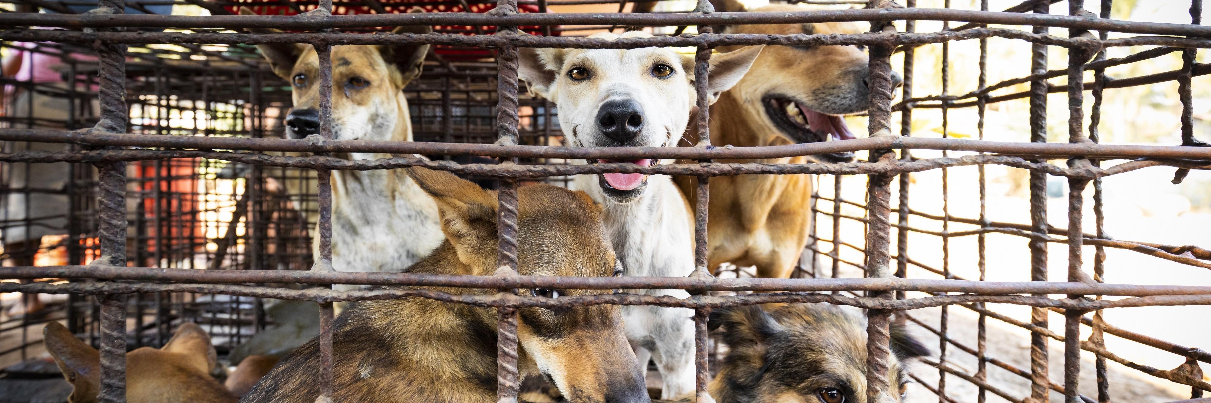 Des chiens dans un abattoir