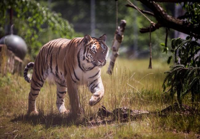 Tigerin Cara schreift durch ihr Gehege