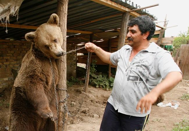 Brown bear chained and made to dance