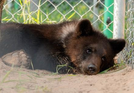Bear Andor