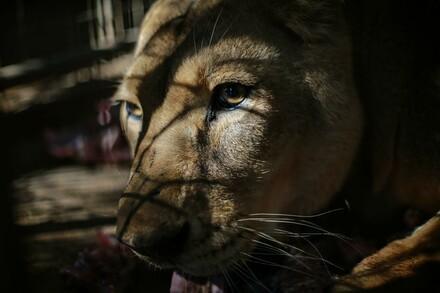 Lion Gaza