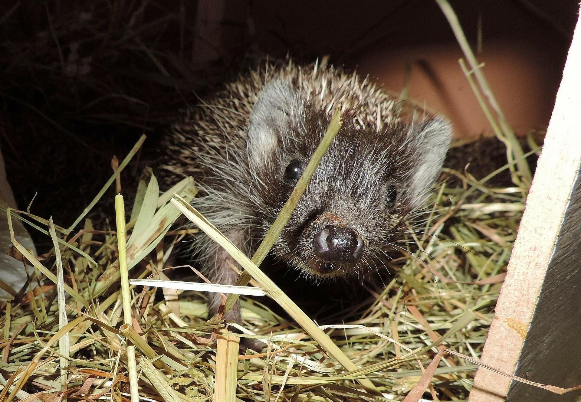 Found a hedgehog?