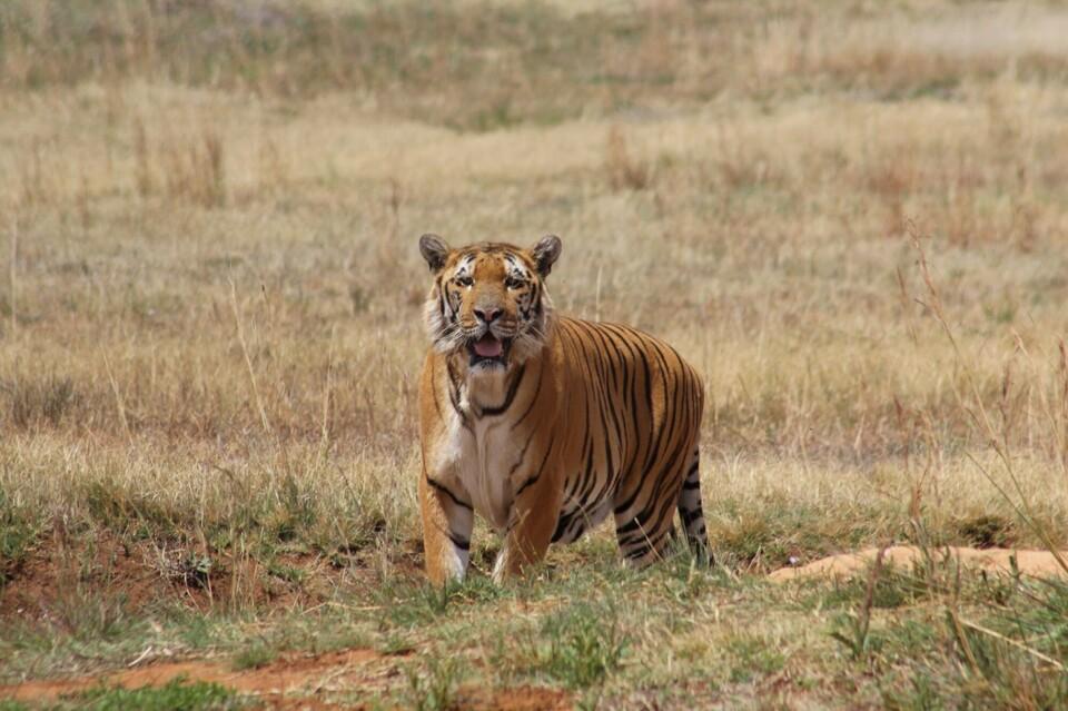 Rescued tiger at LIONSROCK