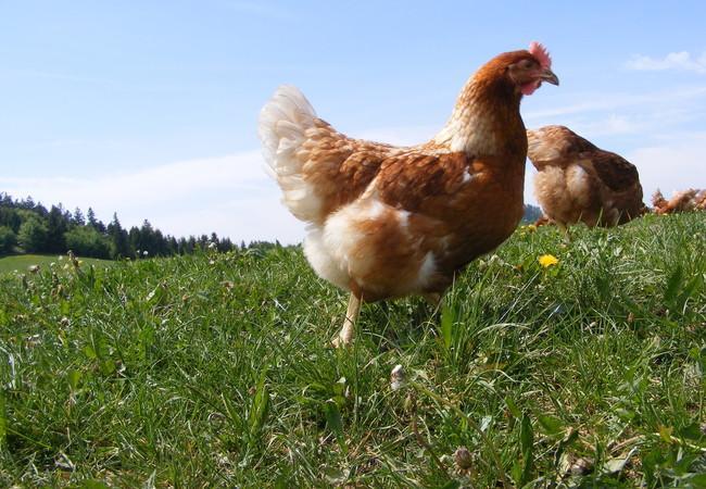 Hühner in Bio-Freilandhaltung auf einer Wiese
