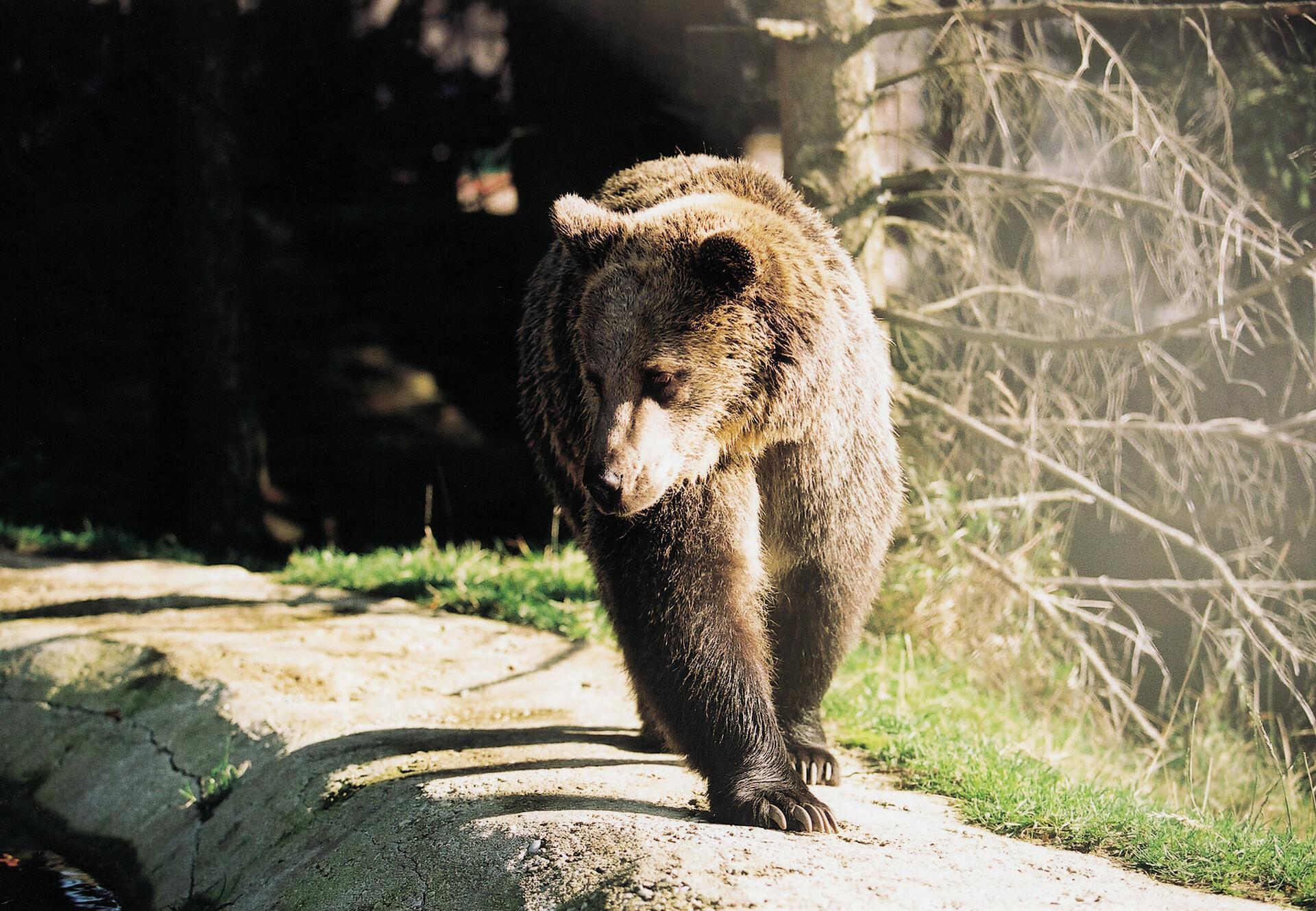 Bear Brumca in BEAR SANCTUARY Arbesbach