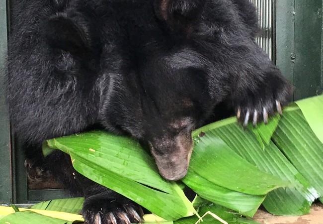 Asiatic black bear eating banana leaves in Ninh Binh