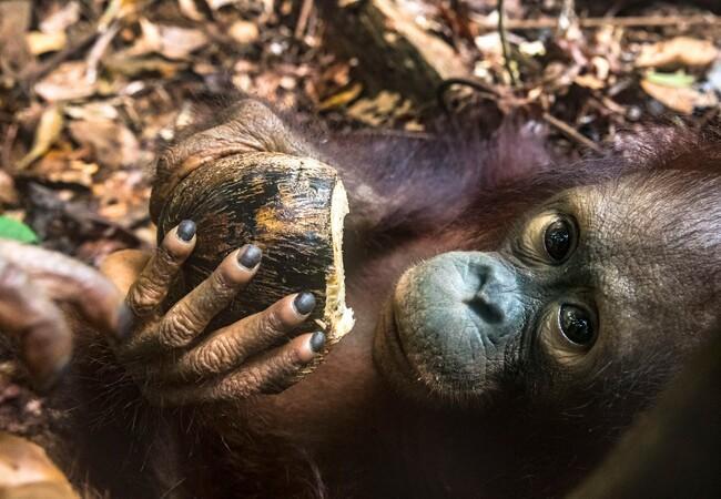 Orangutan Cantik