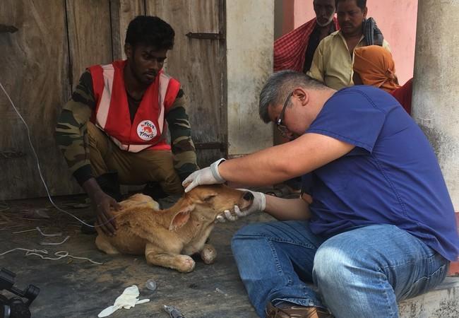 Calf receiving treatment in India