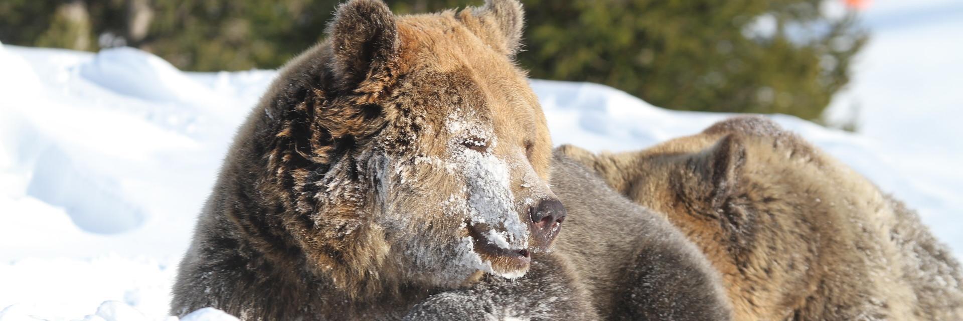 Arosa Bären im Schnee