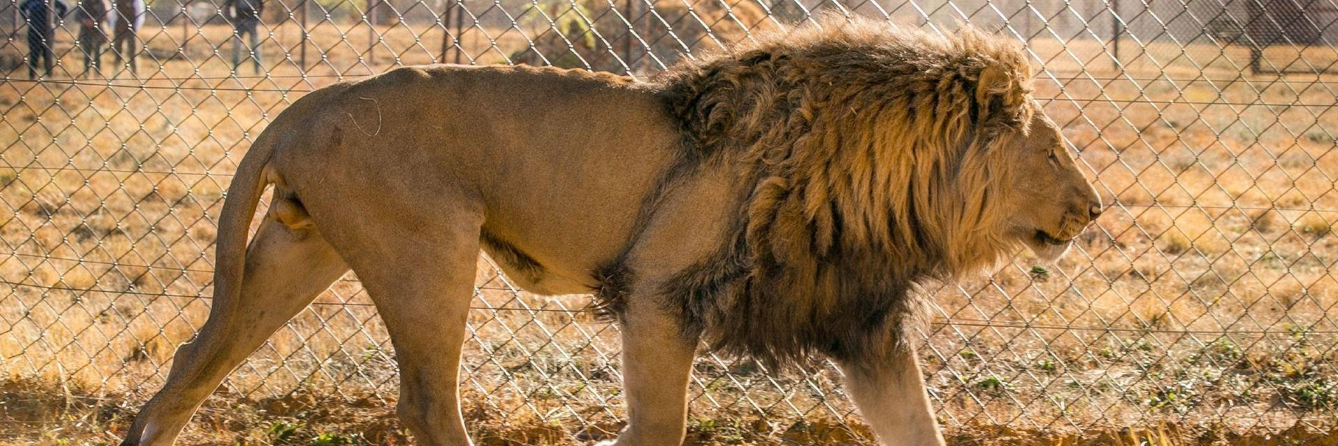 an the captive breeding of lions in South Africa