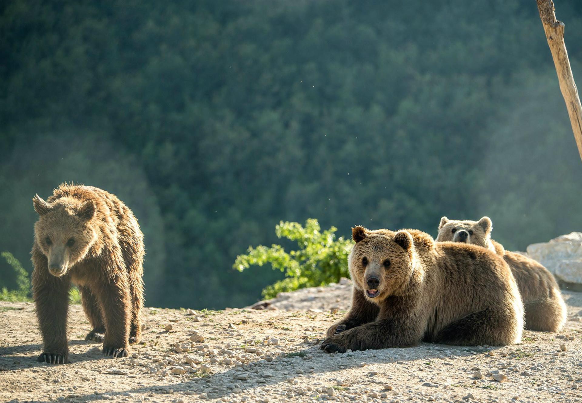 Brown bears Ema, Ron and Oska