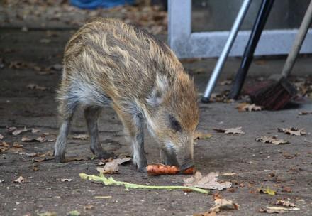 Wildschwein mit Karotte