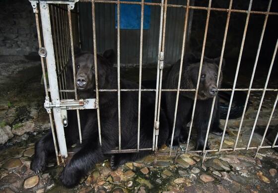Die Braunbären Frol und Frosia im kleinen Käfig.