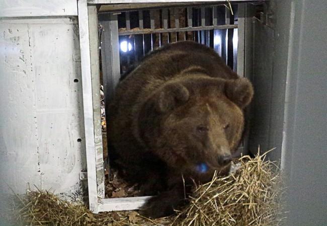 Les ours découvrent leur nouvel environnement