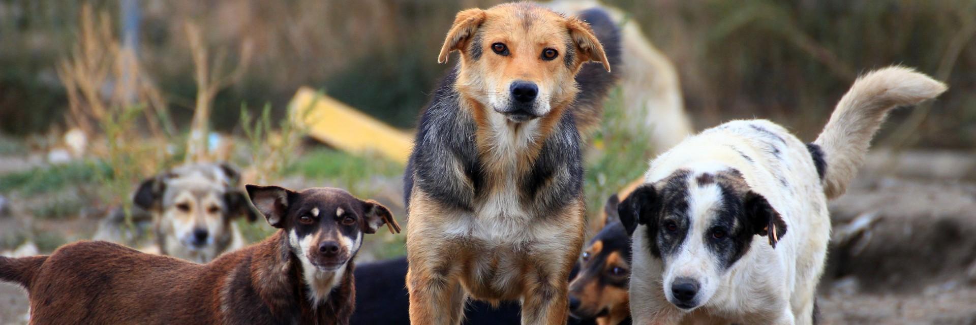 глутница кучета