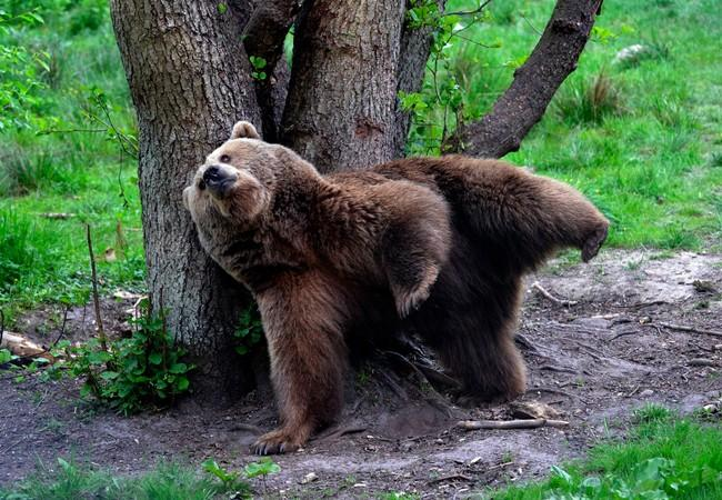 Bear Ida trying to keep balance in BEAR SANCTUARY Müritz