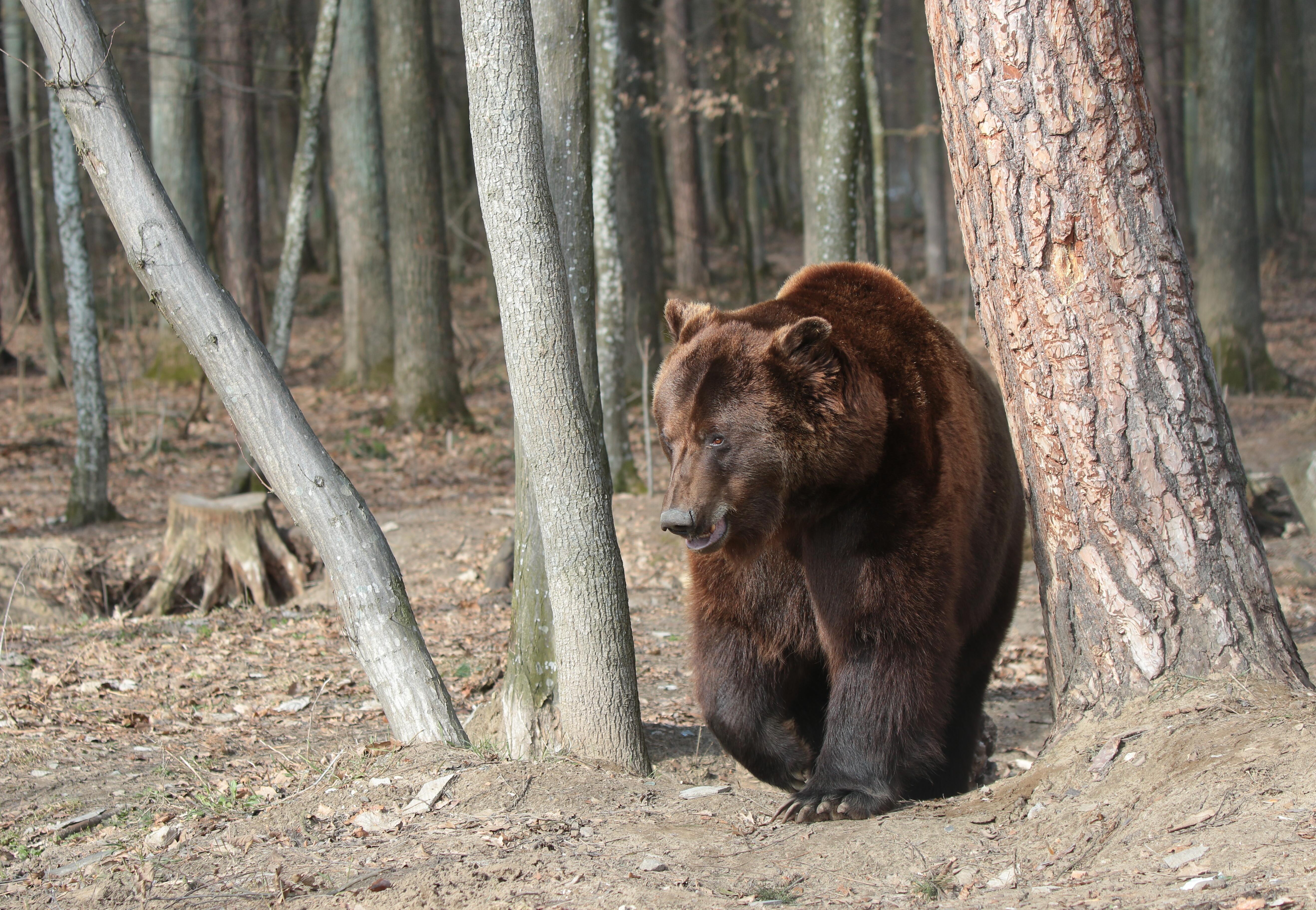 Bear Potap at BEAR SANCTUARY Domazhyr, Ukraine