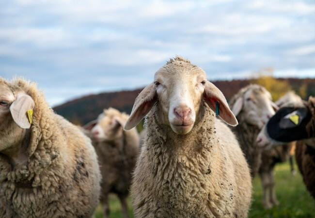 Des moutons mérinos