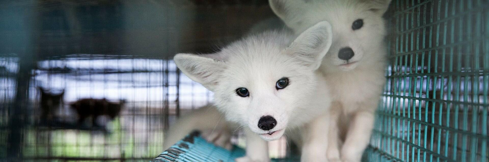cage-white-foxes