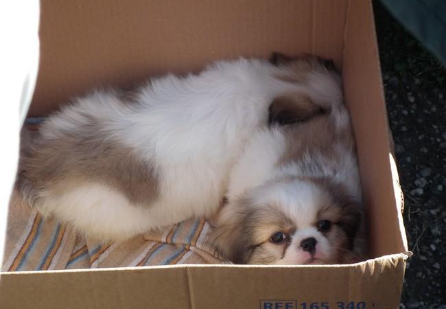 Hundewelpen im Karton auf illegalem Markt in Ungarn