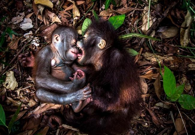 Die Orang-Utans Gerhana (r) und Teger spielen zusammen