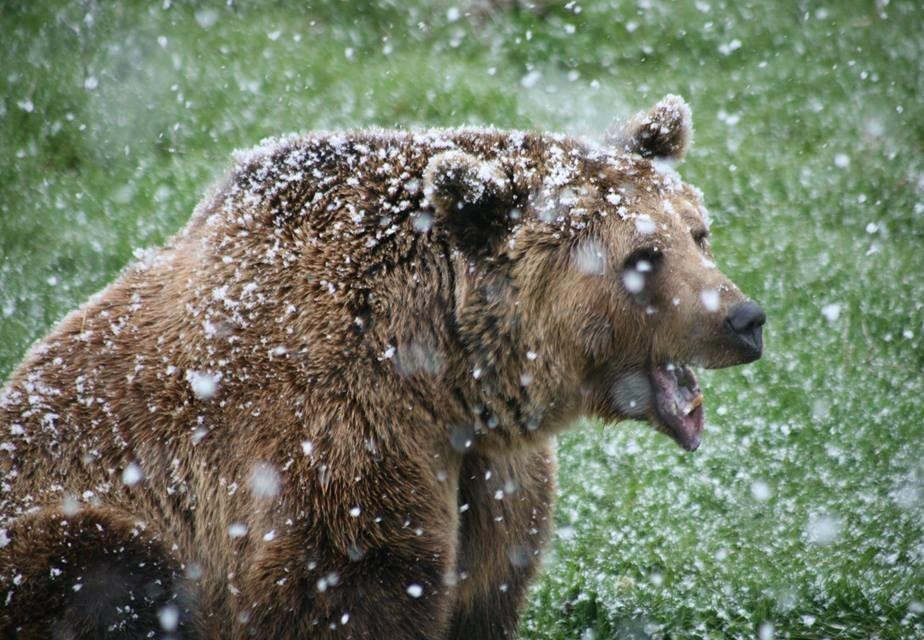 Bear sitting in snow