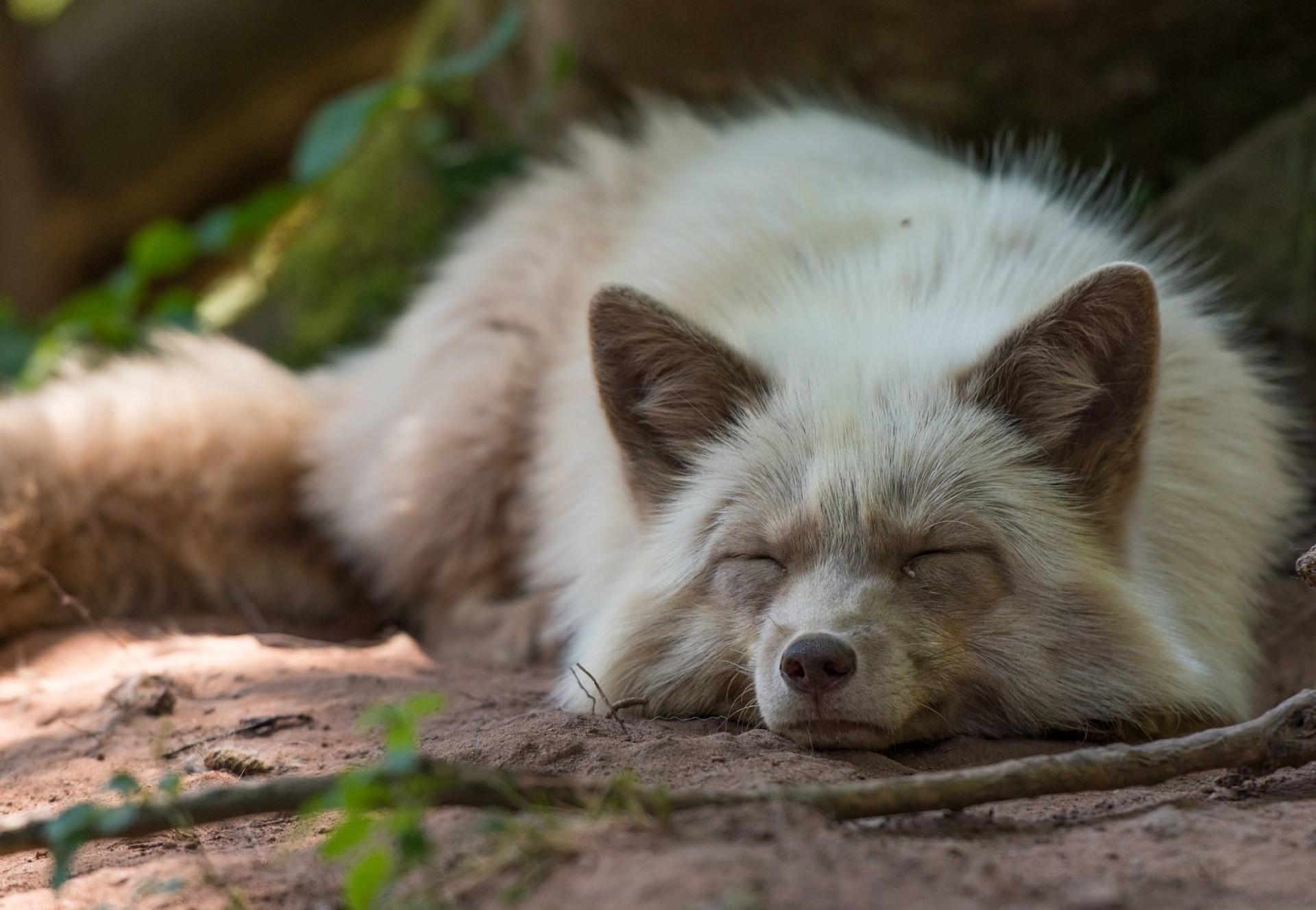 fox-wooden-stick