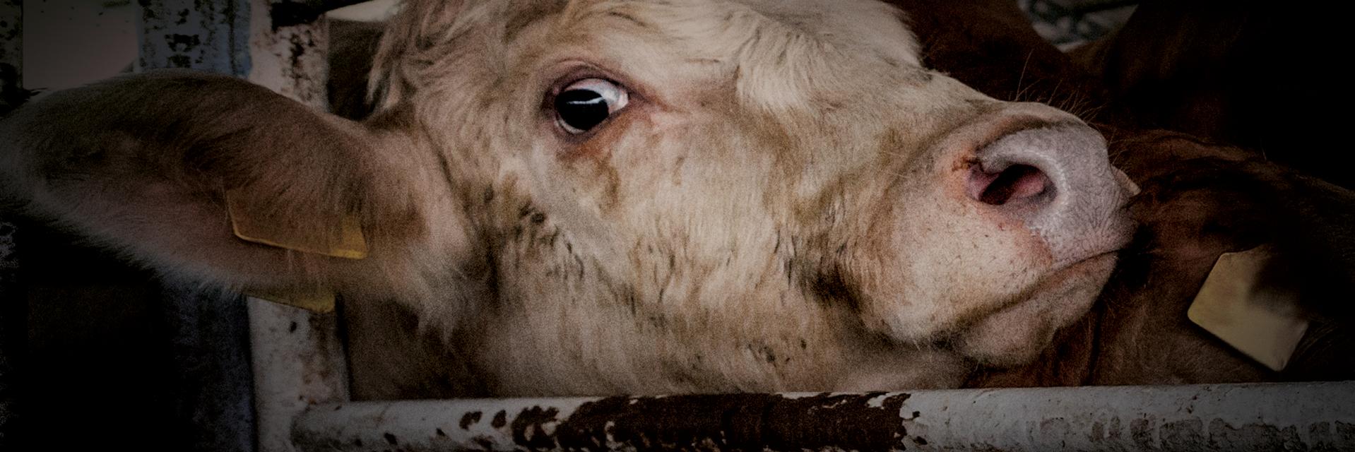 Kuh auf Tiertransport