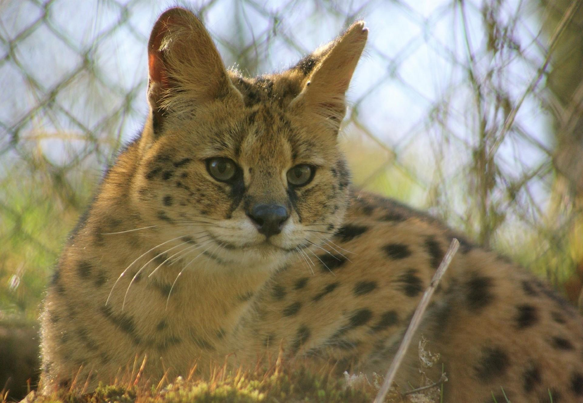 Kiano the serval