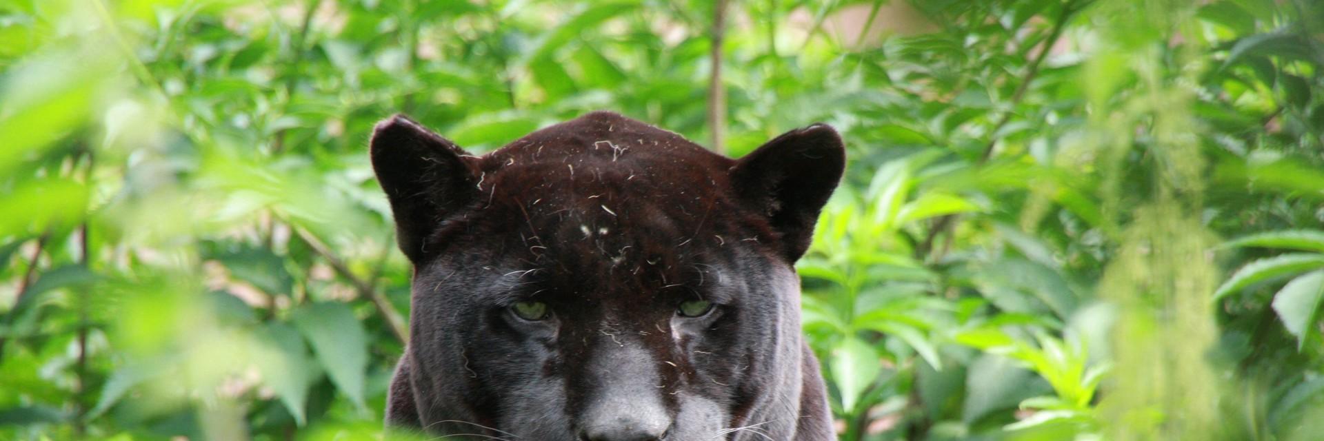 Jaguar Onca at FELIDA