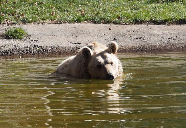 Bär Jerry genießt das Baden im Teich sichtlich