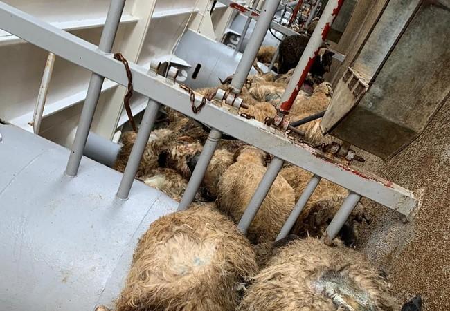 Schafe liegen im Transportraum des Schiffes