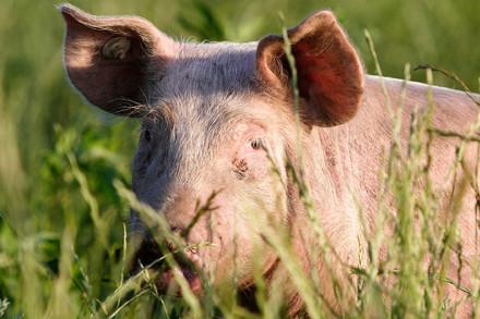Schwein im Gras