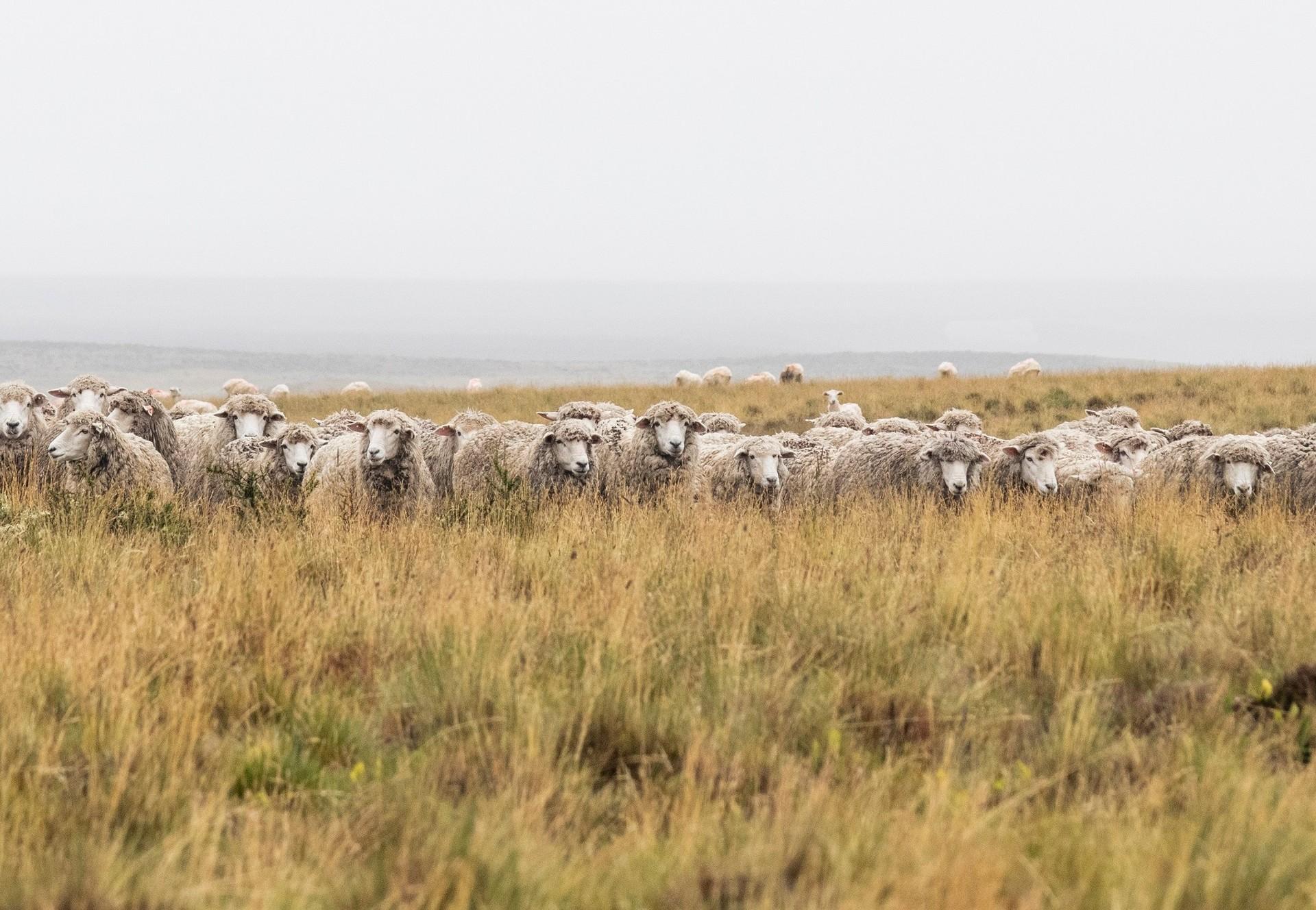 Schafe auf dem Feld