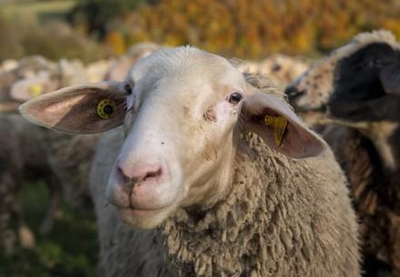 We help sheep and lambs