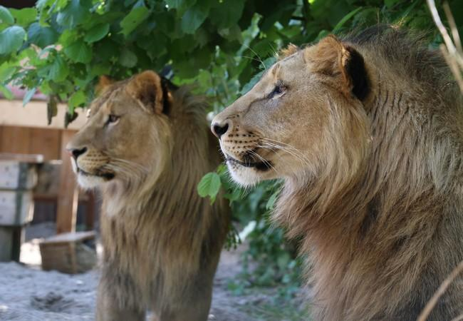 Lions Masoud & Terez on the lookout