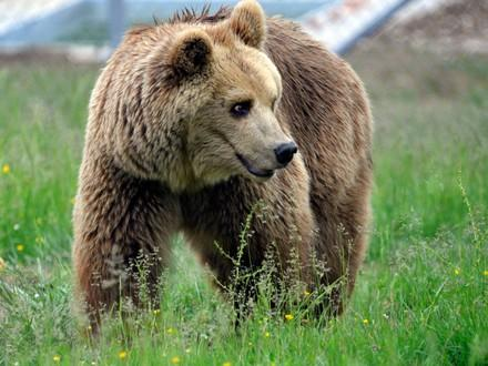 Bear Rina