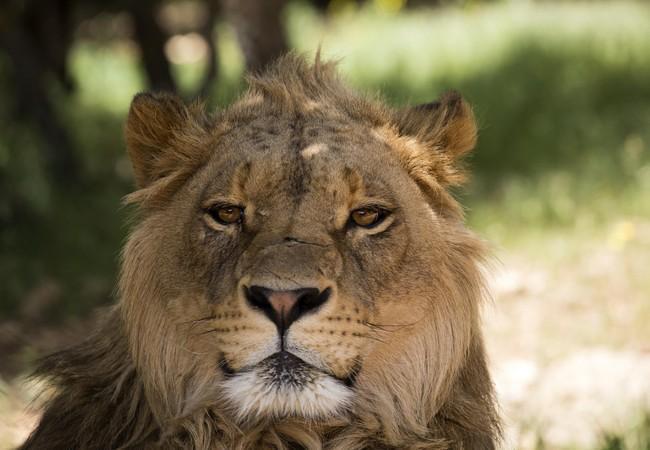 Lion at Al Ma'wa