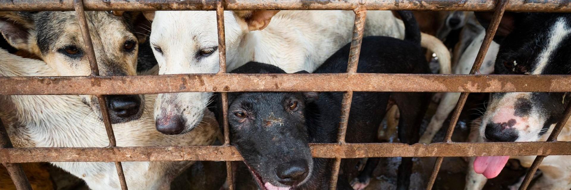 VIER VOETERS sluit hondenslachthuis in Cambodja