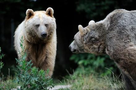 Die Bären Vinzenz und Tom in Arbesbach