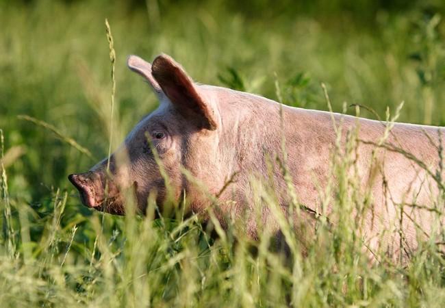 Schwein auf einer Wiese in der Sonne